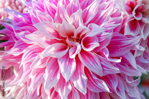 Foto Close up pink dahlia background