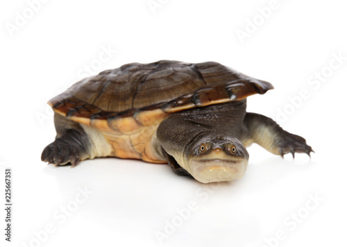 Tortoise on white background.