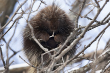Porcupine Sitting In A Tree Ea...