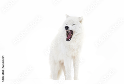 A lone Arctic wolf (Canis lupus arctos)  bark isolated on white background in Canada