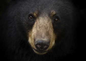 Black bear closeup (Ursus americanus) portrait in the meadow in autumn in Canada