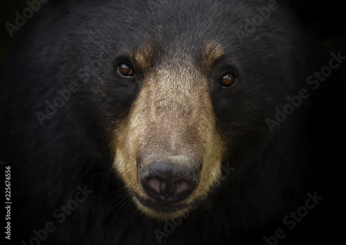 Black bear (Ursus americanus) portrait in the meadow in autumn in Canada