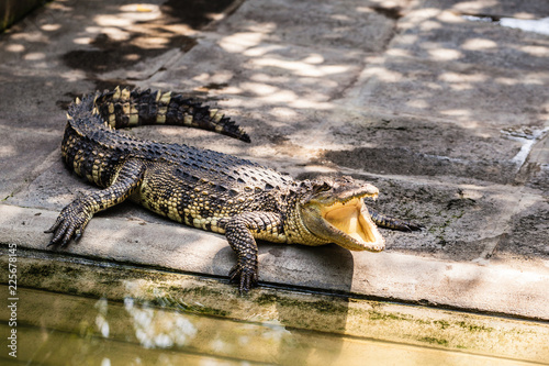 Photo  Alligator with open mouth near the water