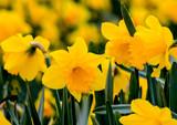 Beautiful yellow daffodils