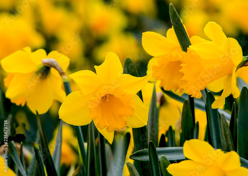 Photographie  Beautiful yellow daffodils