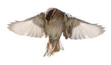 House Sparrow In Flight Isolated On White