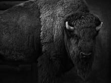 Bison Schwarz-weiß