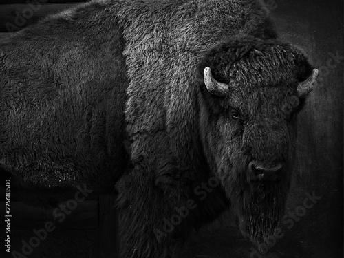 Leinwand Poster Bison schwarz-weiß