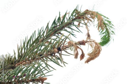 Fényképezés Dieback of shoots spruce