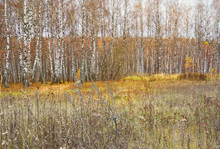 Beautiful Autumn Landscape, Birch Forest And Fild.