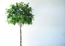 ベンジャミンの木