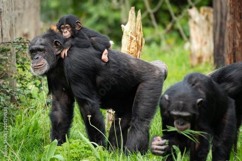 Fényképezés Baby Chimp with Parents
