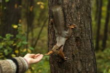 Funny Red Squirrel, Sitting On...