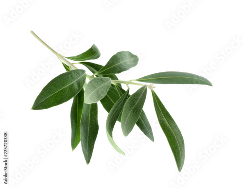 Foto op Plexiglas Olijfboom Twig with fresh green olive leaves on white background
