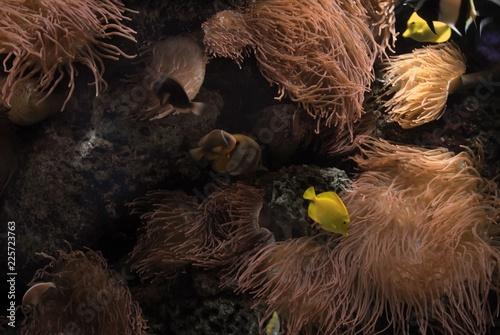 Fotografia Anémonas marinas y peces
