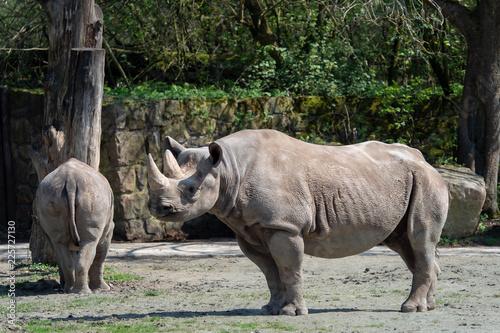 Eastern black rhinoceros, (Diceros bicornis michaeli)
