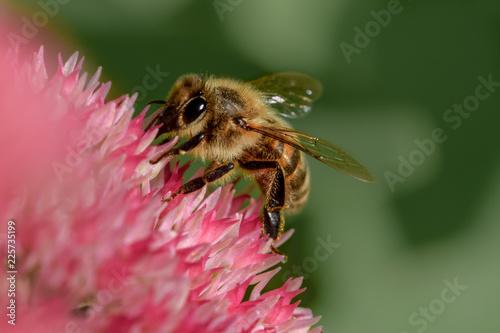 Fotografija Honey bee macro close up on pink flower