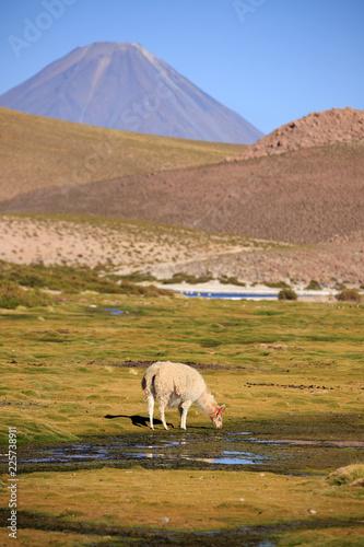 Staande foto Lama Lama