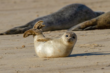 Seal Pup On The Beach As Part ...