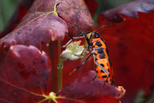 Red Soldier Bug On Autumn Red Leaves Of Grapes...