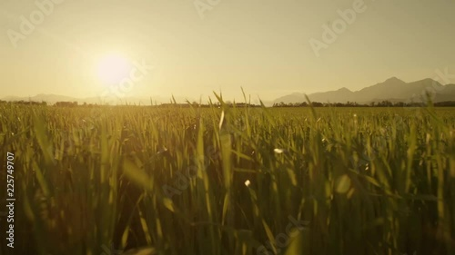 Loop of AERIAL: Close up flight over the wheat field at sunset - 225749707