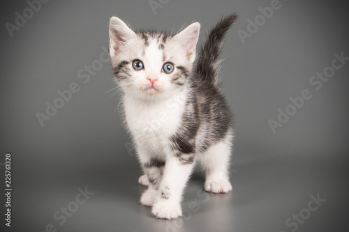 Fototapety, obrazy: American shorthair cat on colored backgrounds