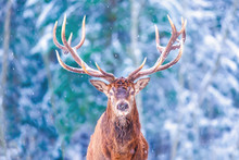 Winter Wildlife Landscape With Noble Deers Cervus Elaphus. Deer With Large Horns With Snow On The Foreground And Looking At Camera. Natural Habitat. Artistic Christmas Background.