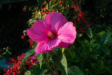Beautiful Swamp Rose Mallow Fl...