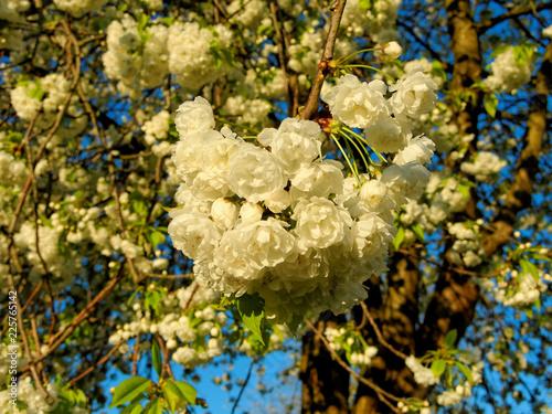 Blooming wild cherry called 'Prunus avium Plena' in the yellow light of the rising sun