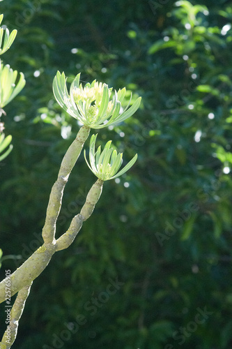 Tuinposter Canarische Eilanden Canary Islands candle plant mountain grass Kleinia neriifolia