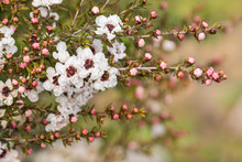 Closeup Of White New Zealand Teatree Flowers With Raindrops And Blurred Background