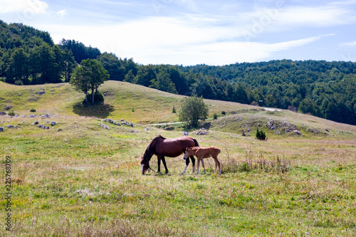 Photo  Mare with foal in Montenegro