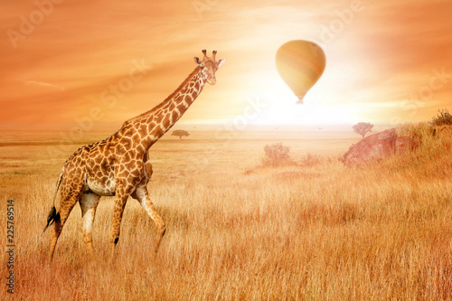Giraffe in the African savannah at sunset with balloon in the sky. Wild nature of Africa. African adventure.