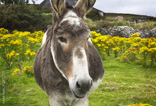 Beguiling Irish donkey in green field with yellow flowers Canvas Print