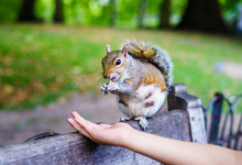 Squirrel Having A Food From Hu...