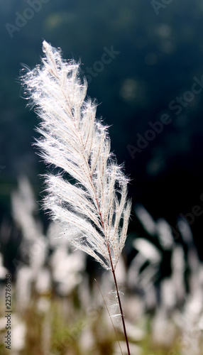 Fotografie, Obraz  Saccharum spontaneum or Kans grass locally known as the Kash flower native to the Nepalese Subcontinent