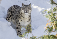 Snow Leopard Stands In Deep Sn...