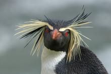 Northern Rockhopper Penguin - ...