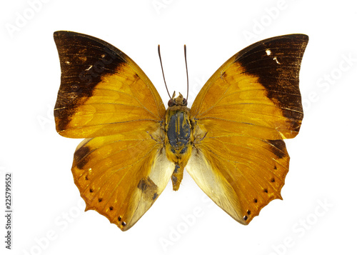 Image of Tawny rajah Butterfly (Charaxes fabius) on white background Canvas Print