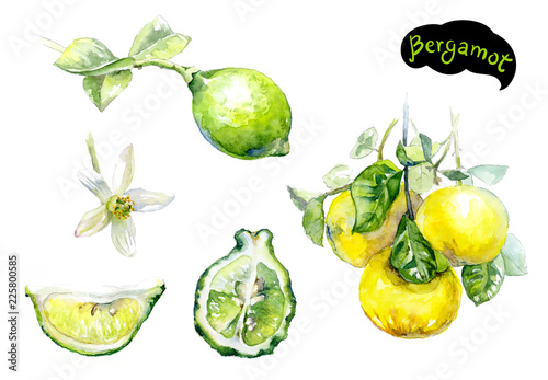 bergamot watercolor hand drawn illustration isolated on white Wallpaper Mural