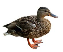 Motley Brown Duck Isolated On White Background
