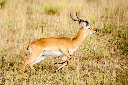 Poster Antelope Impala, Uganda Africa