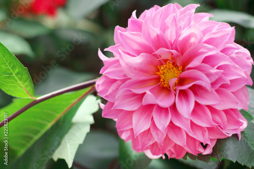 Fotobehang Dahlia Beautiful pink dahlia flower blooming in the garden.