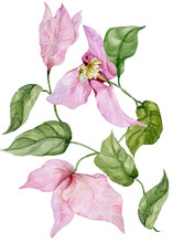 Beautiful Bougainvillea Flowers On A Twig With Green Leaves. Isolated On White Background. Watercolor Painting.