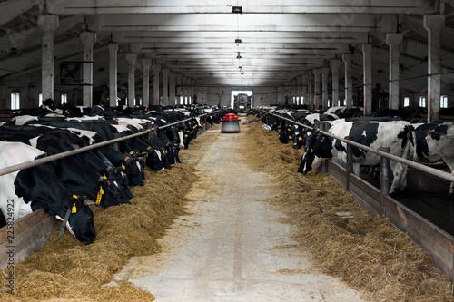 Black and white cows eating hay in cowshed on dairy farm. Cow feeding. Agriculture industry, farming and animal husbandry