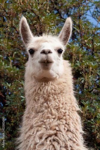 Deurstickers Lama Staring Llama