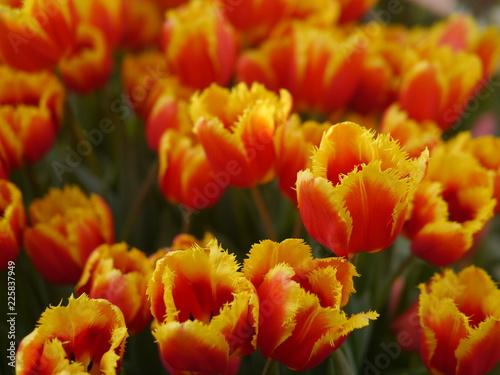 Foto op Canvas Cappuccino Yellow tulips in spring garden
