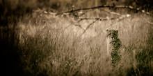 Cheetah (Acinonyx Jubatus Soemmeringii) In The Okavango-delta In Botswana