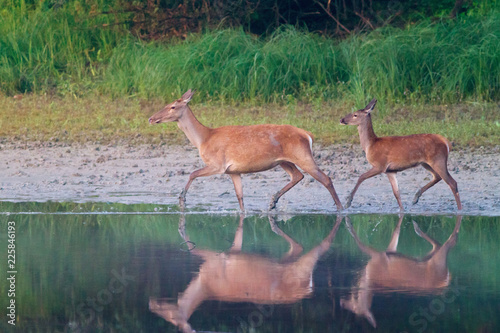 Fotografia Hind and fawn cross the river