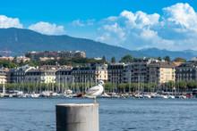 Seagull With The Geneve Coastl...